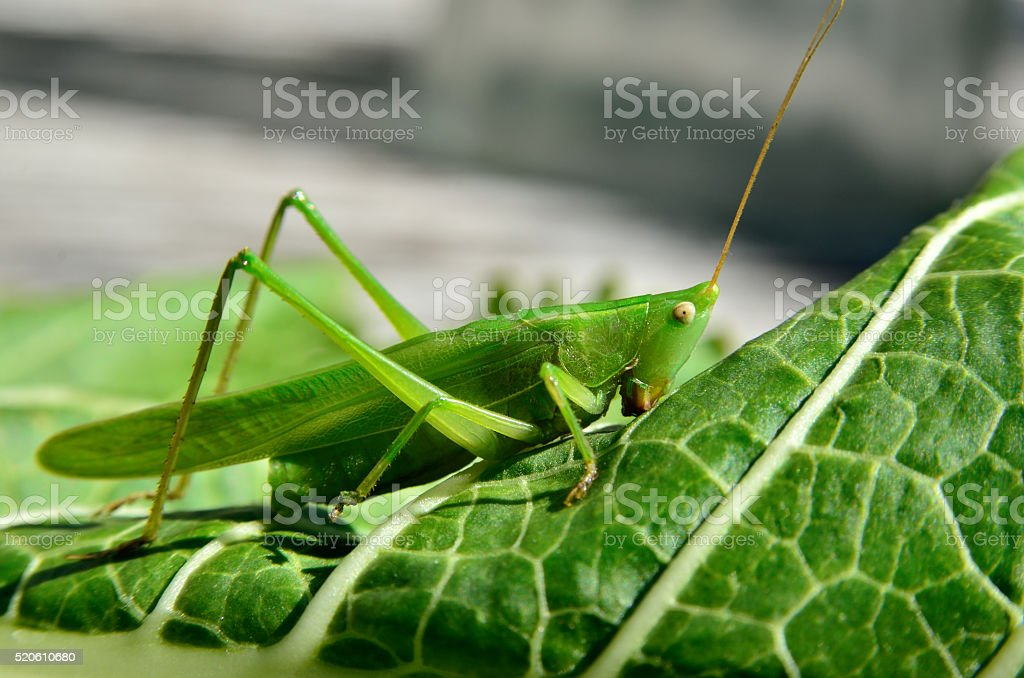 Young, green grasshopper eats the leaves in the garden stock photo