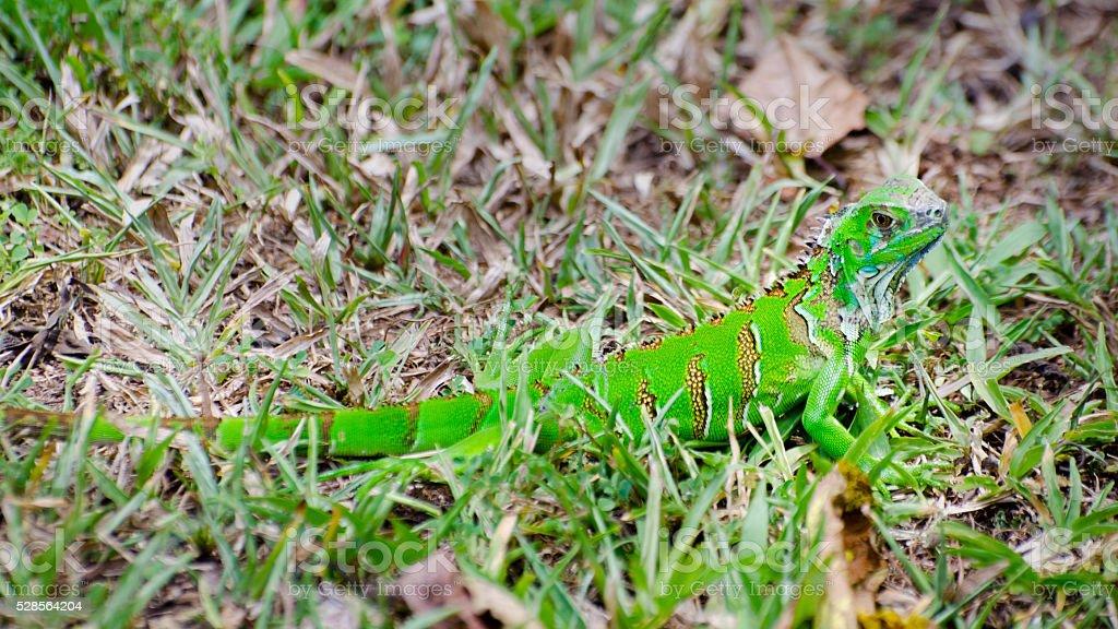 young green iguana, Iguana iguana stock photo