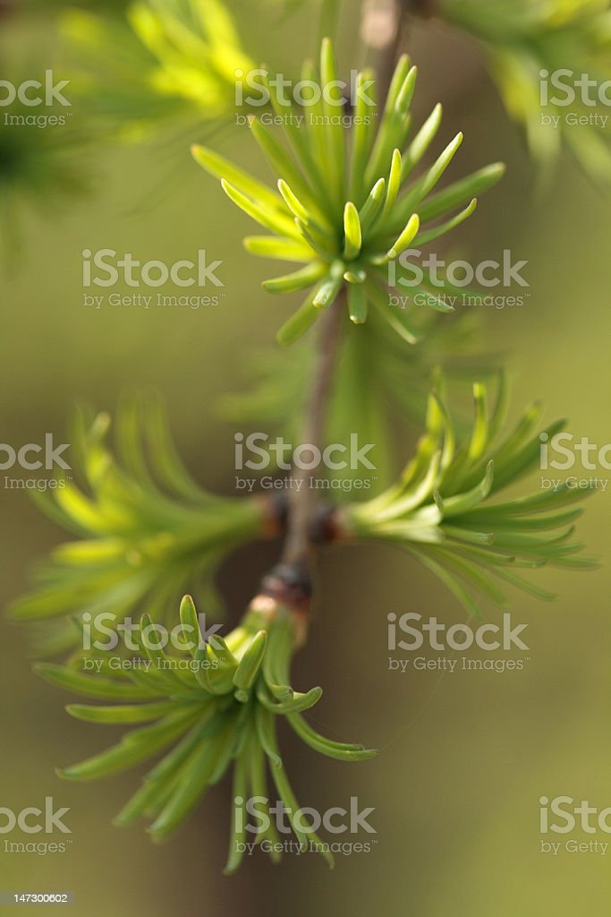 young green leaves of larch royalty-free stock photo