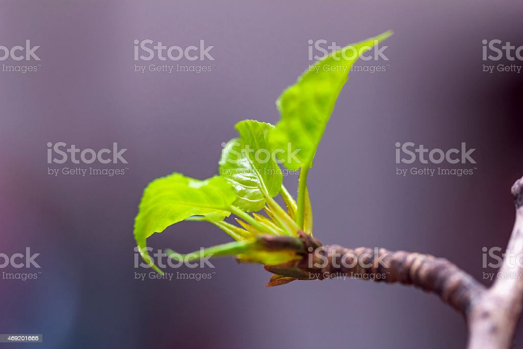Young green leaves of poplar stock photo