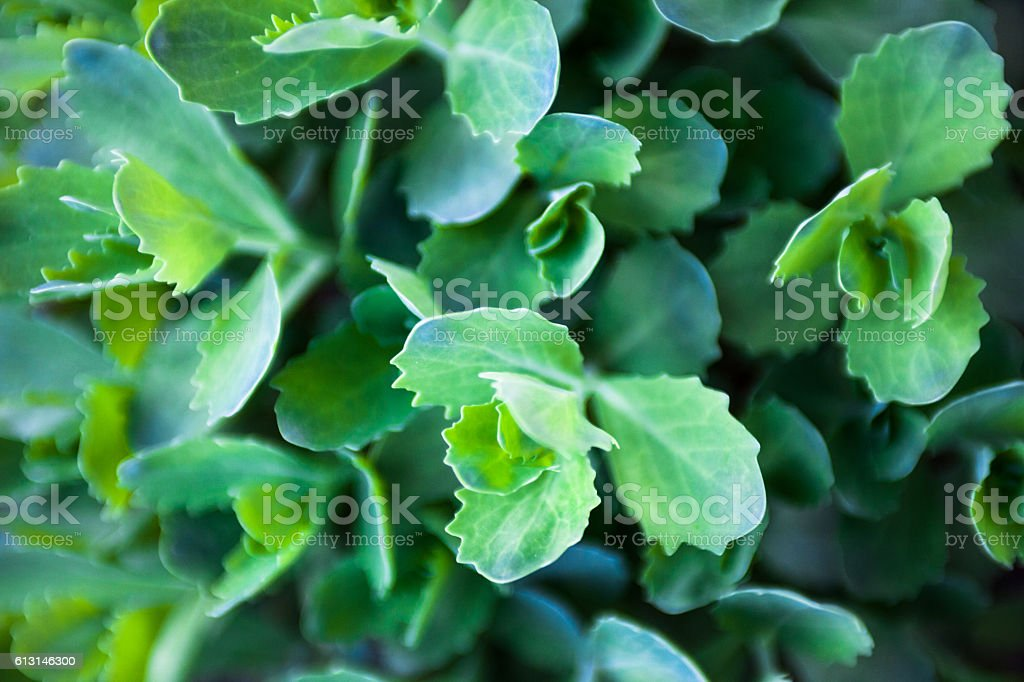 Young green leaves of Sedum stock photo