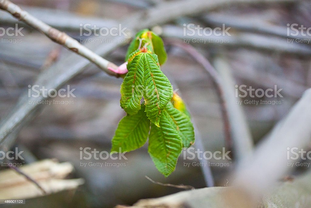 young green leaves of the chestnut tree stock photo
