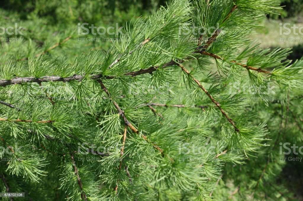 Young green leaves on the branches of Larix decidua in spring stock photo