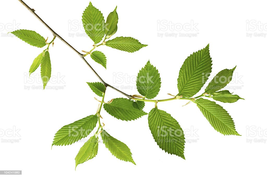 Young Green leaves royalty-free stock photo
