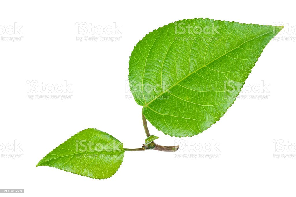 Young green leaves stock photo
