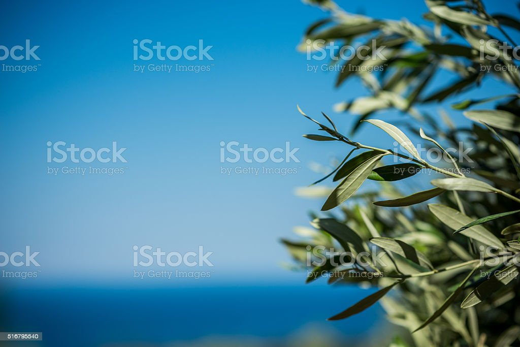 Young green olives hang on branches stock photo