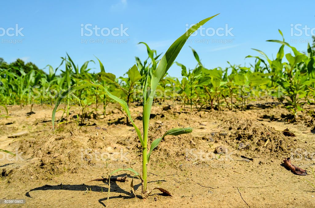 Young green plants on a field stock photo