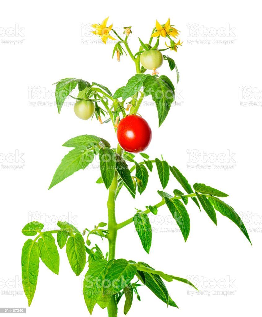 young green seedling of fresh ripe red tomatoes fruit stock photo