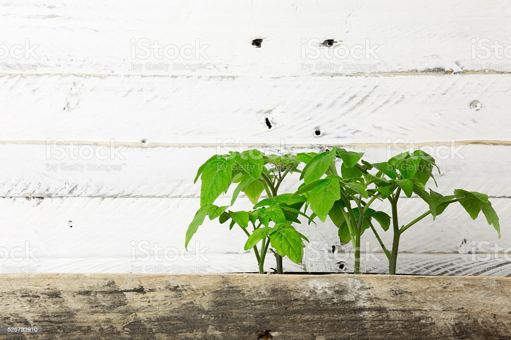 Young Green Shoots of Minibel Tomato Ornamental Plant White Back stock photo