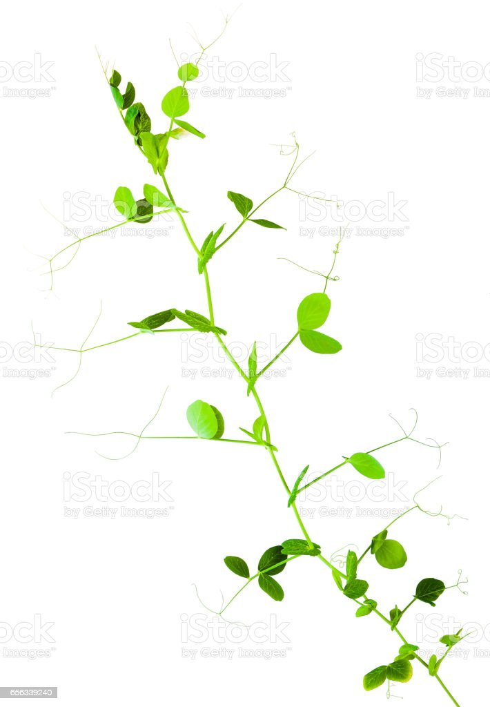 young green shoots of peas isolated on white background stock photo