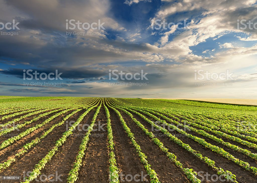 Young green soybean crops at idyllic sunny day stock photo