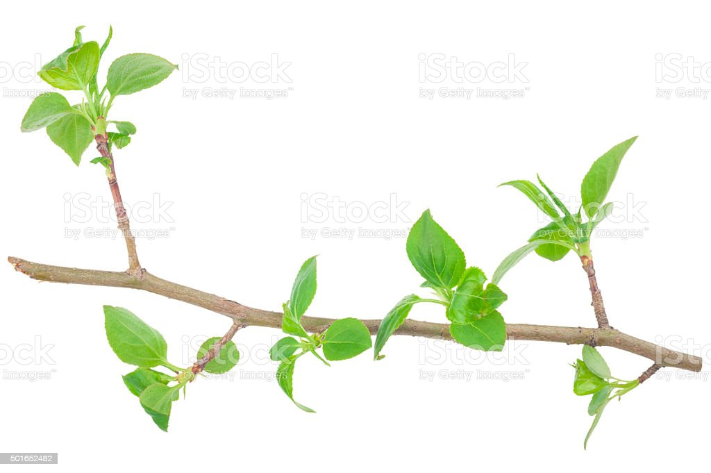 Young green sprout of apple-tree with leaf stock photo