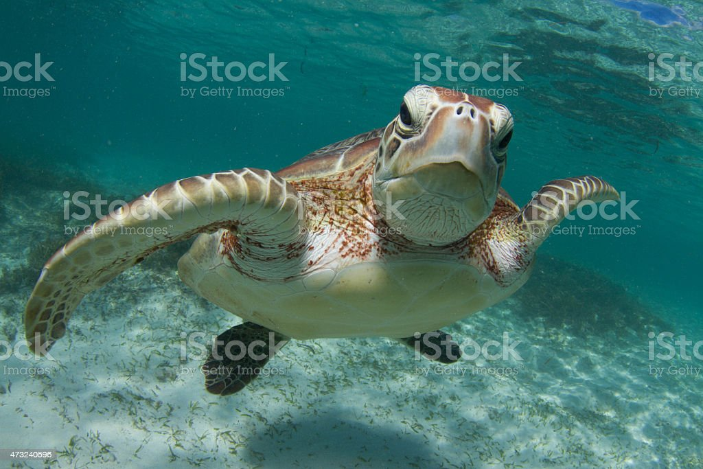 Young Green Turtle stock photo