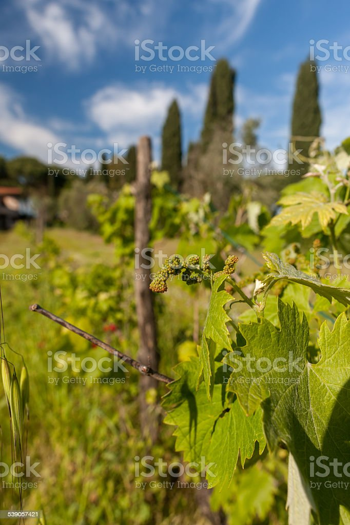young green unripe wine grapes stock photo