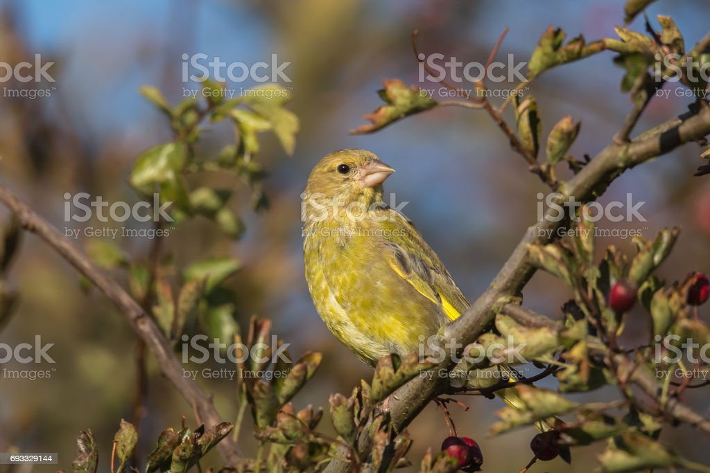 A young Greenfinch in a Hawthorn bush stock photo