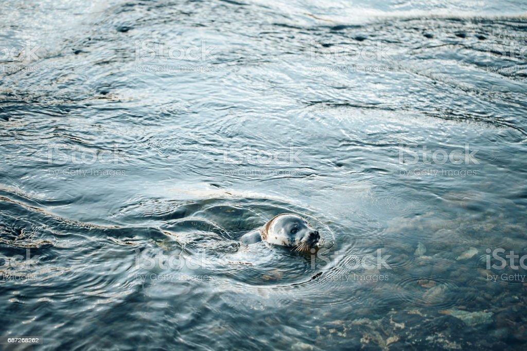 Young Greenland Harp Seal stock photo