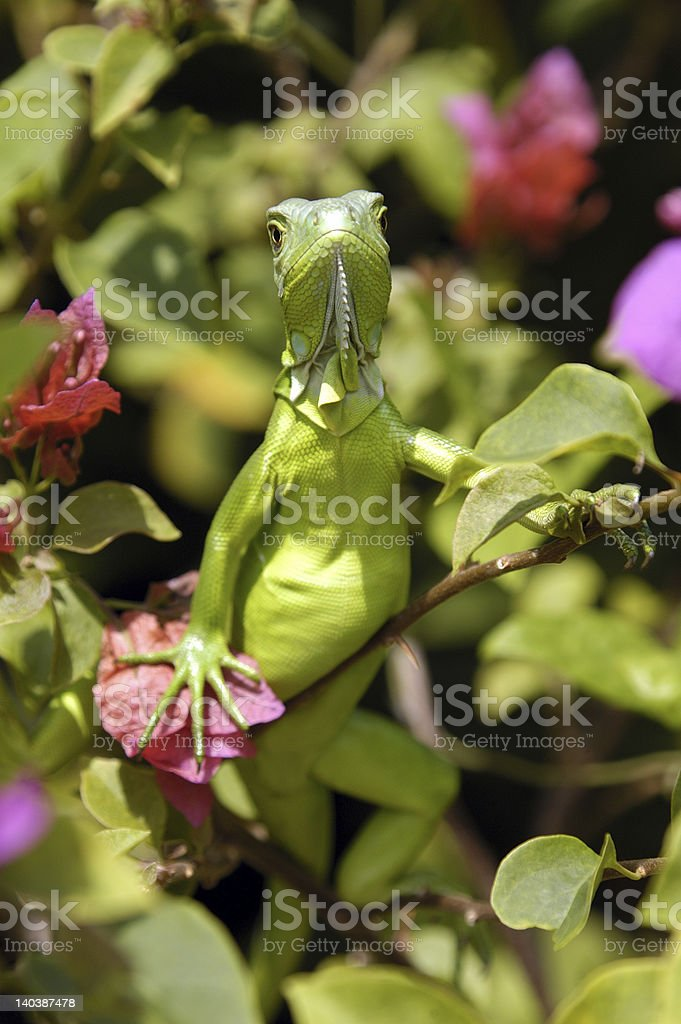 Young Greeny the Iguana stock photo