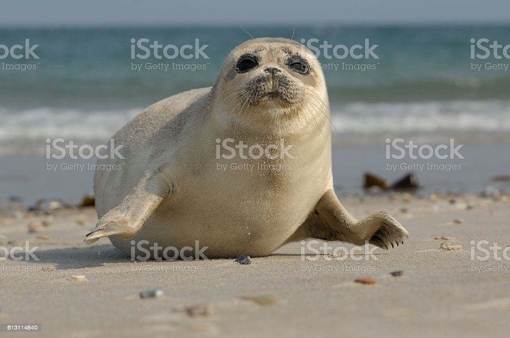 Young Grey Seal, Halichoerus grypus stock photo