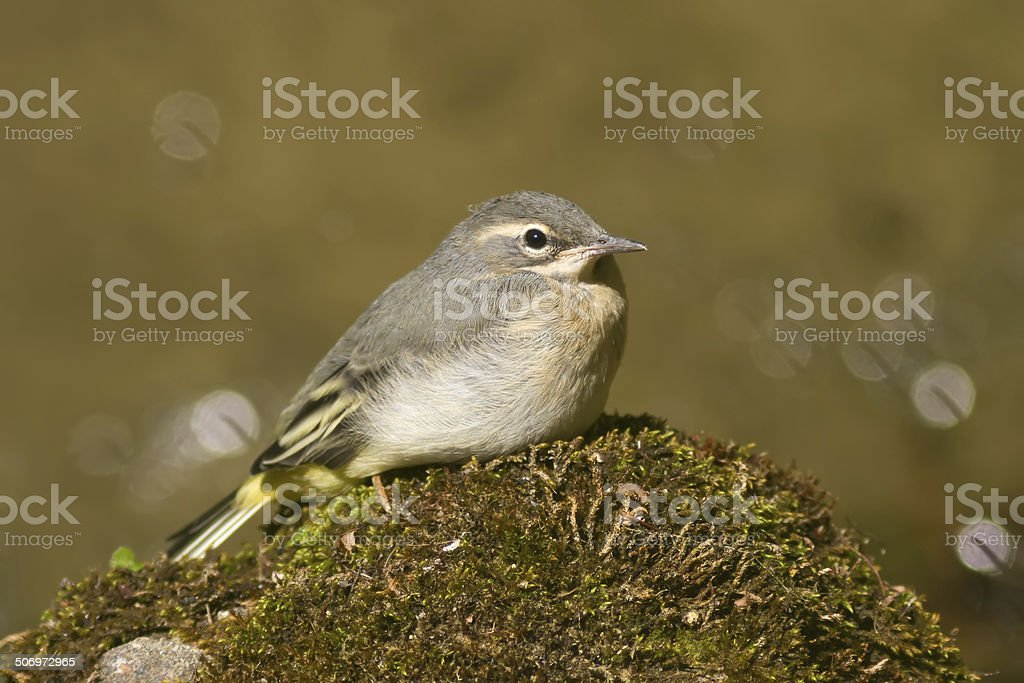 Young Grey Wagtail stock photo
