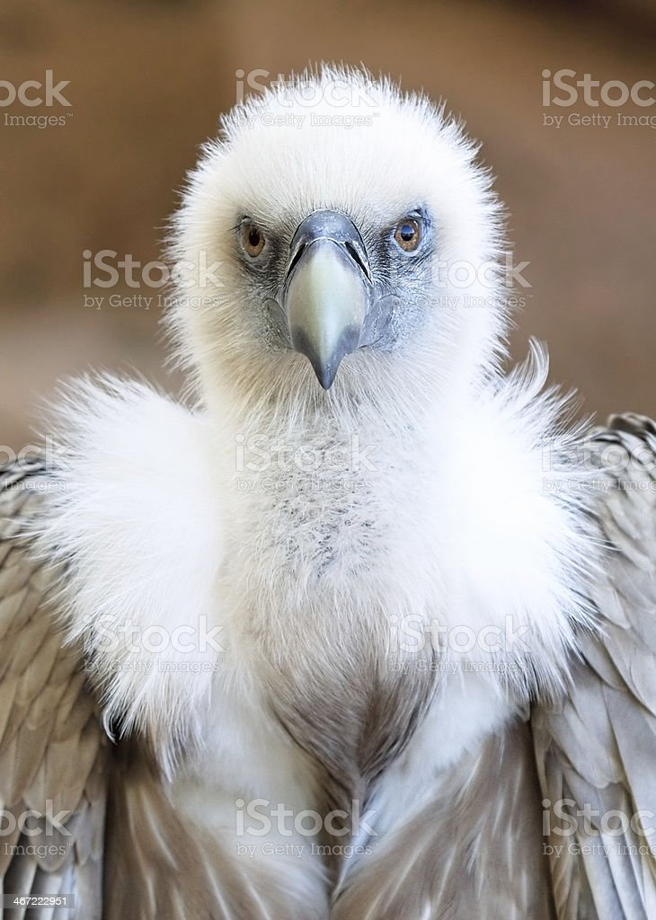 Young Griffon Vulture stock photo