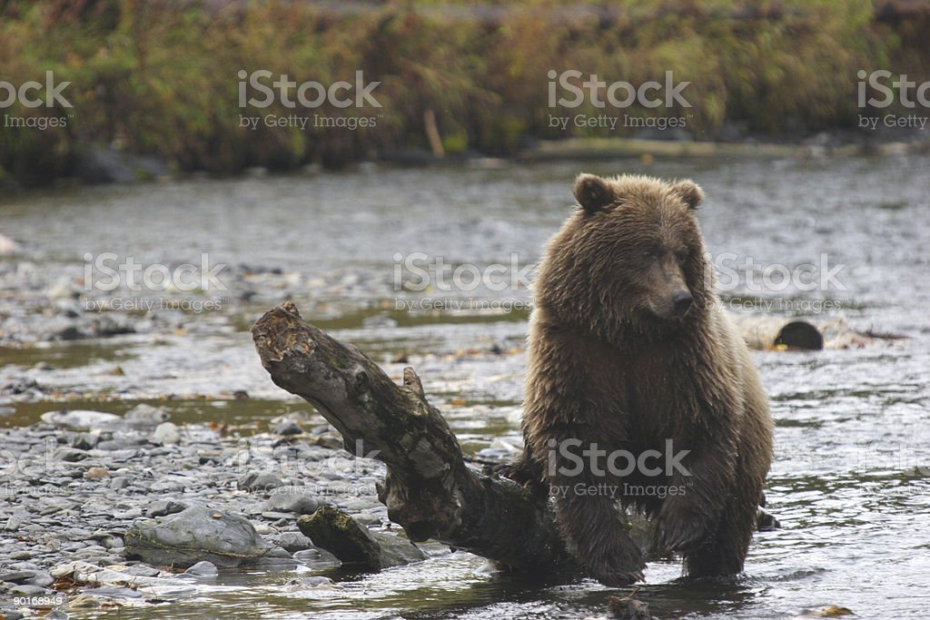 Young grizzly bear getting wet royalty-free stock photo