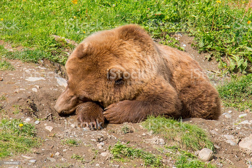 Young Grizzly Bear Napping royalty-free stock photo