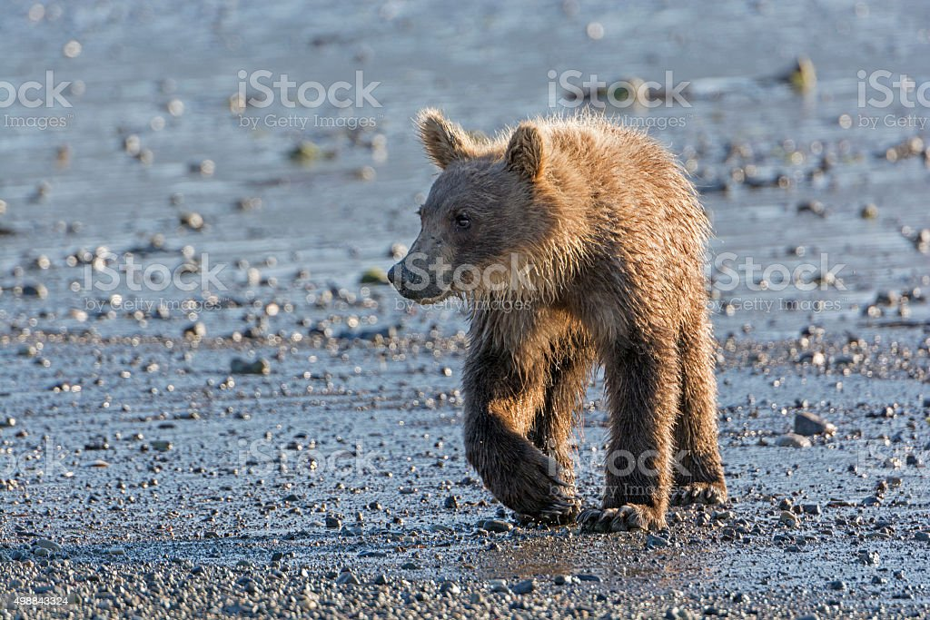 Young Grizzly Bear on a Coastal Estuary stock photo