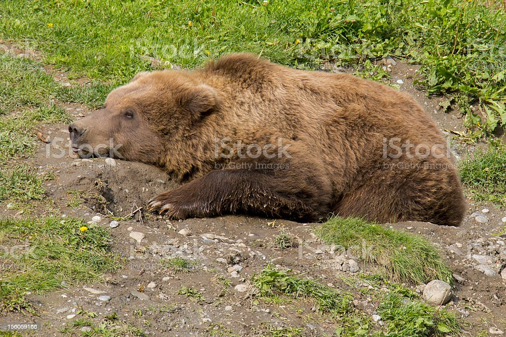 Young Grizzly Bear Tries to Rest royalty-free stock photo