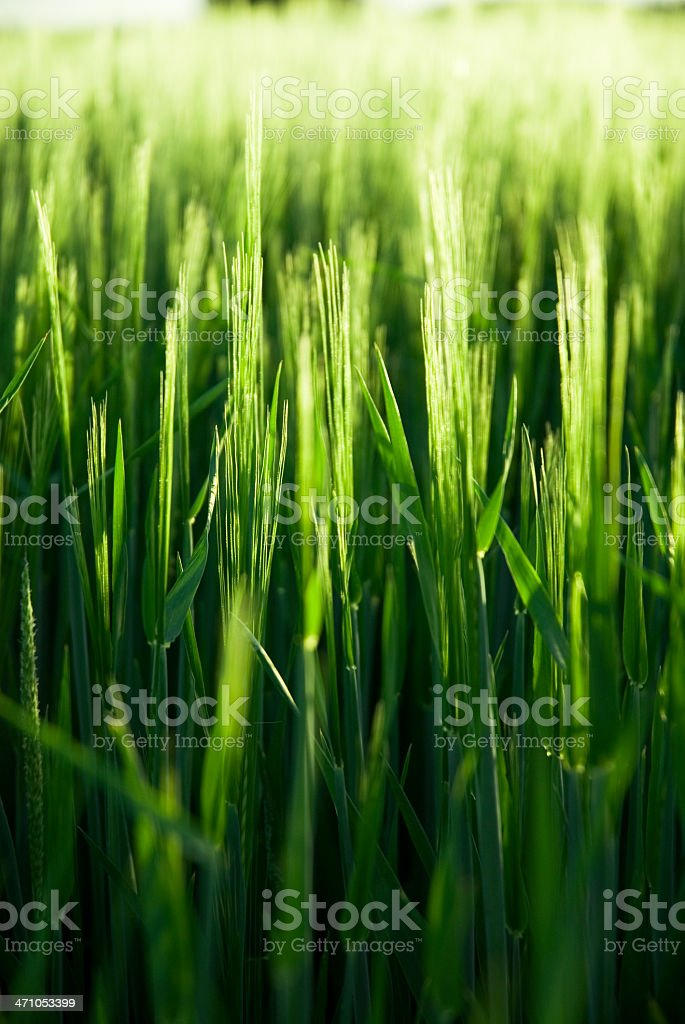 Young growing Barley stock photo