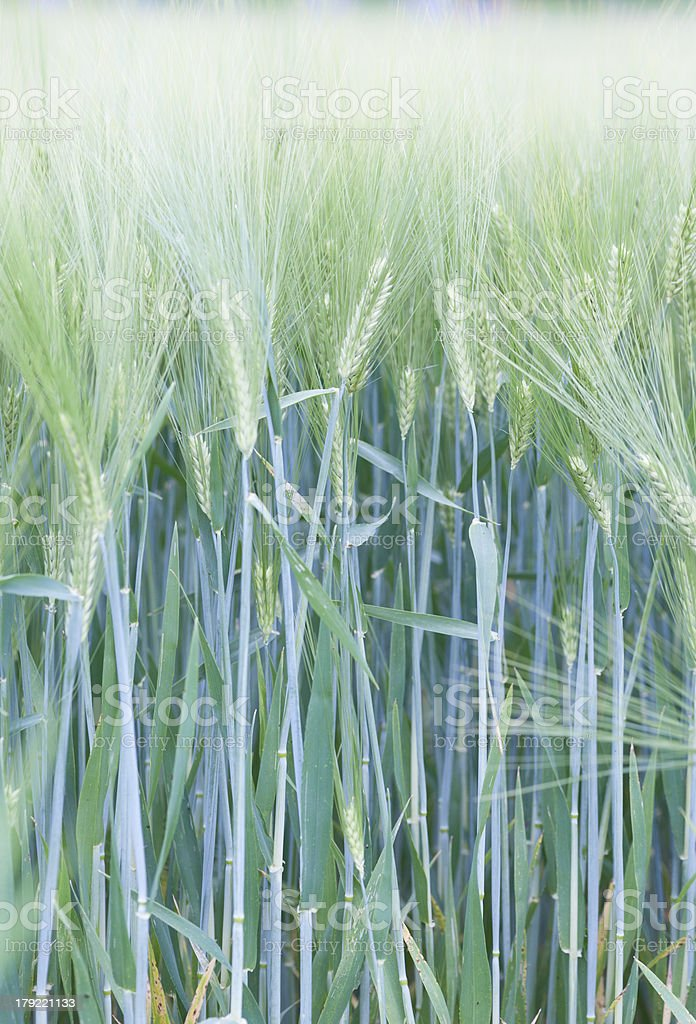young growing green crop plant royalty-free stock photo