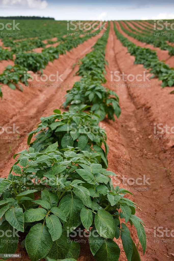 Young growing PEI crops royalty-free stock photo