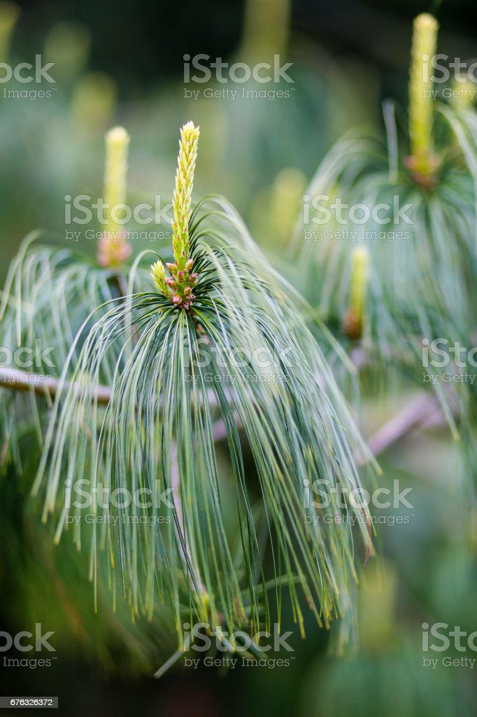 Young growth of Holford pine with a blurry background stock photo