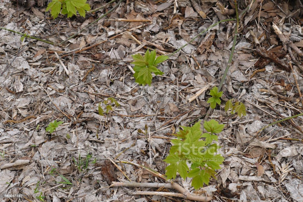 Young growth of maples stock photo