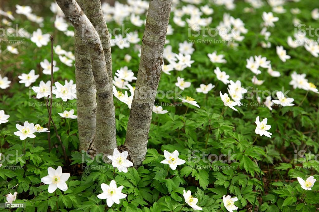 Young growth: tree and wood anemones royalty-free stock photo