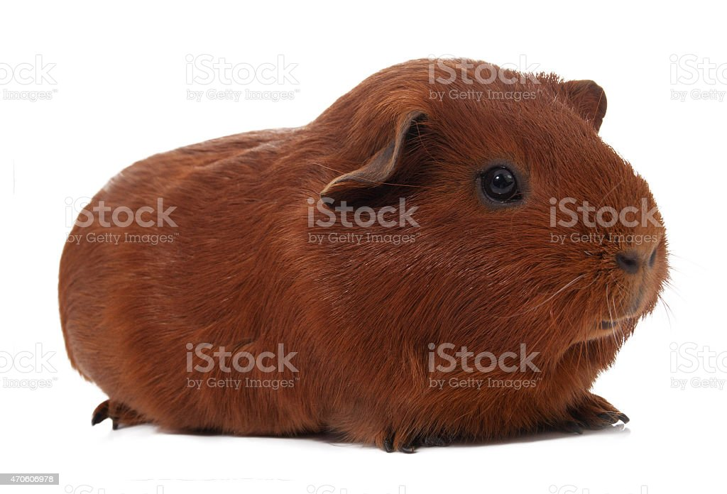 Young guinea pig - pet stock photo