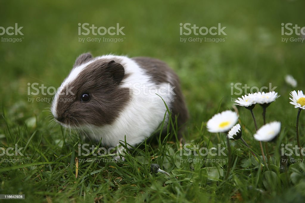 Young guinea pig stock photo
