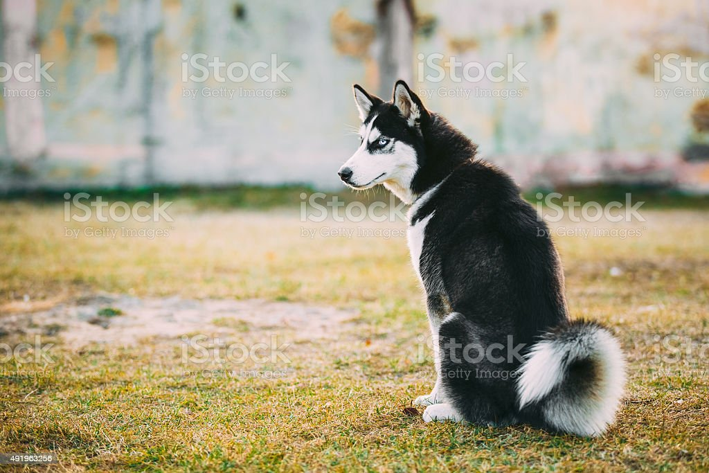 Young Happy Husky Eskimo Dog Sitting In Dry Grass stock photo