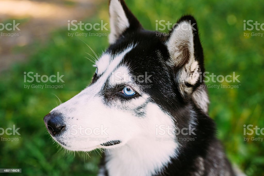 Young Happy Husky Eskimo Dog Sitting In Grass Outdoor stock photo