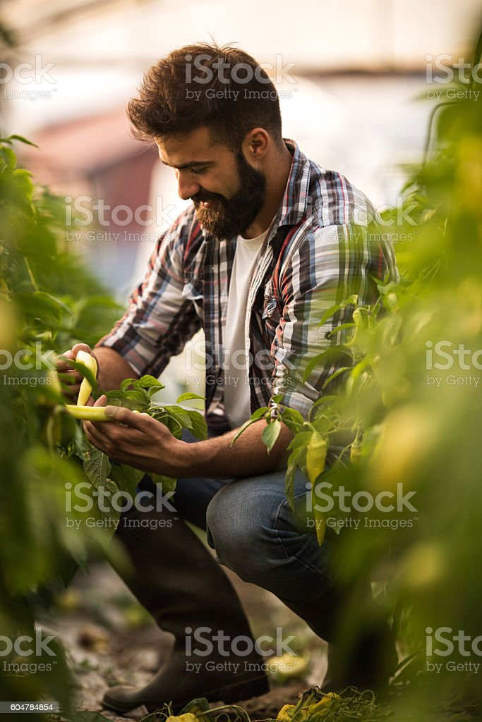 Young happy man picking fresh hot peppers in a greenhouse. stock photo