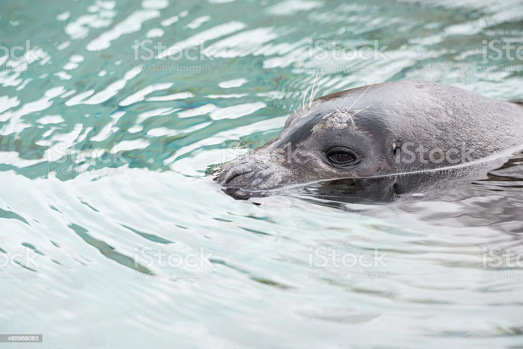 Young Harbor Seal stock photo