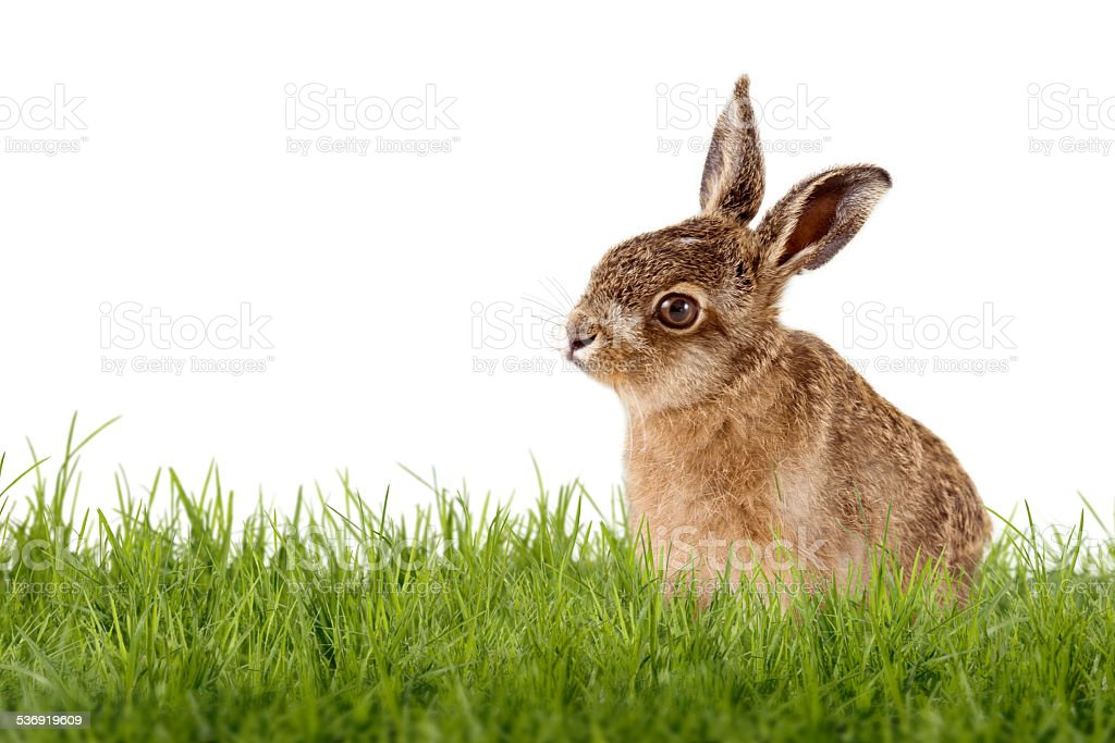 Young Hare, Easter bunny sitting on green meadow stock photo