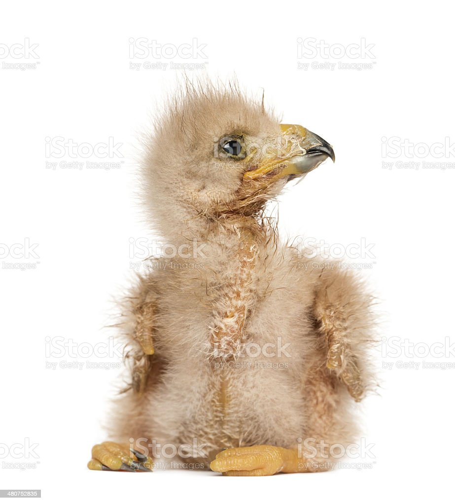 Young Harris's Hawk looking away, 3 days old stock photo