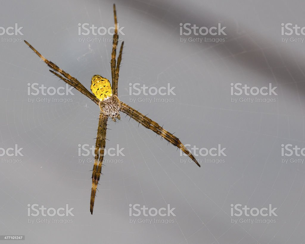 Young Hawaiian Garden Spider Isolated on Gray stock photo