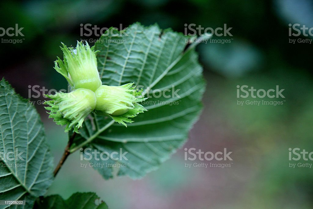Young hazel nuts stock photo