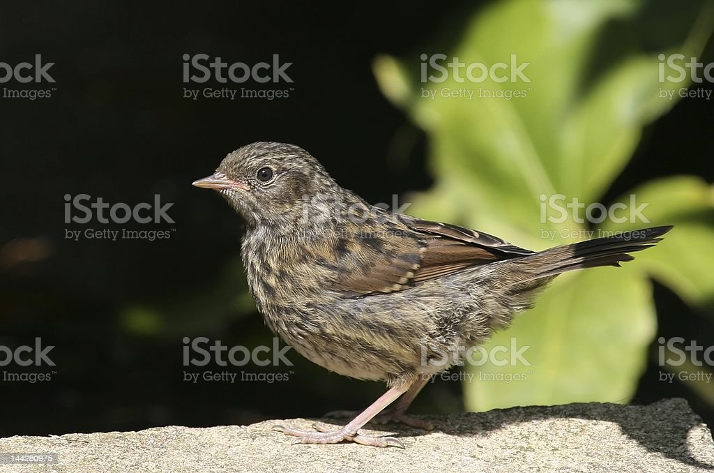 Young Hedge Sparrow stock photo