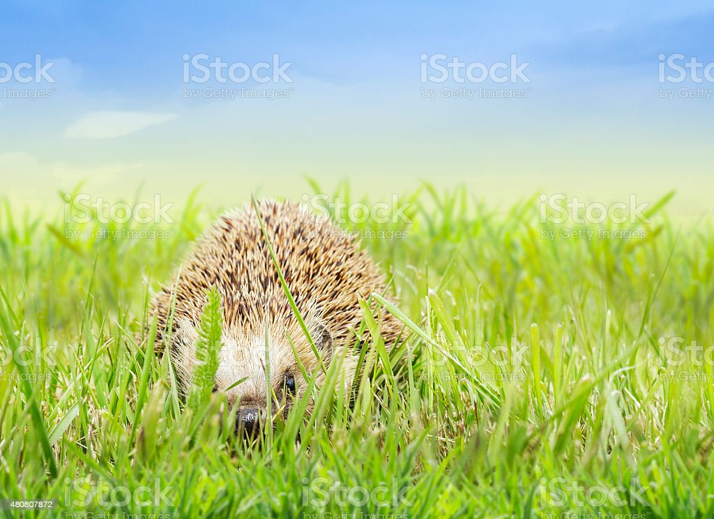 Young hedgehog  in grass on sky und nature background stock photo