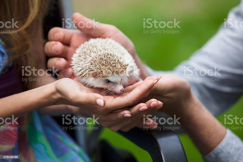 Young hedgehog in hands stock photo