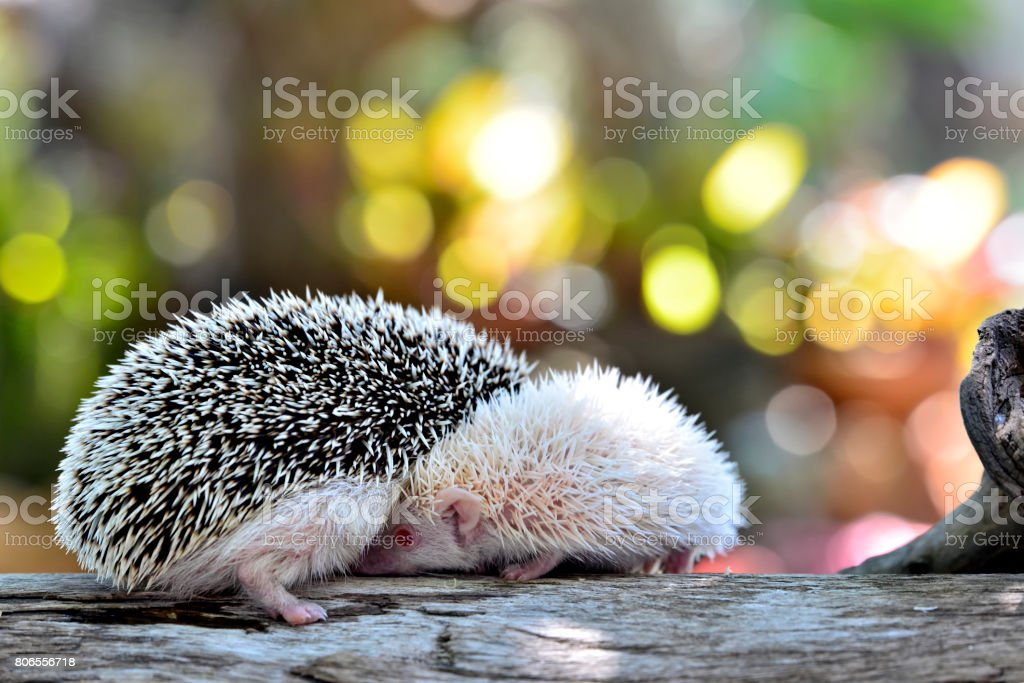 Young hedgehog in natural habitat ,Hedgehog  bokeh  background stock photo