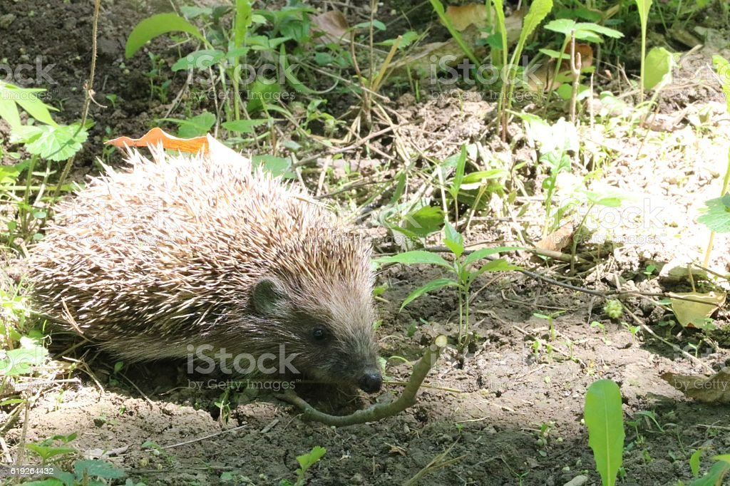 Young hedgehog in natural habitat stock photo