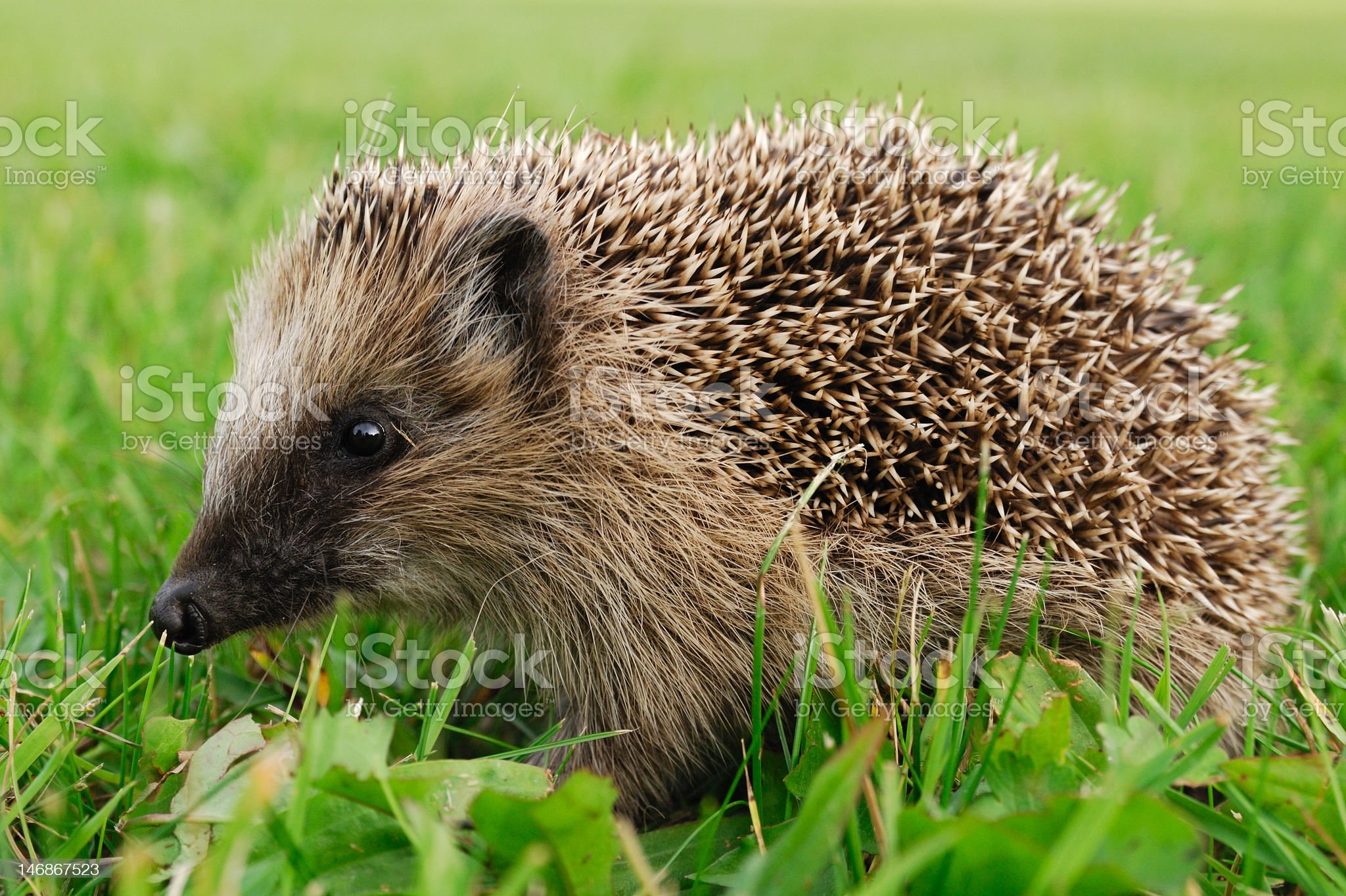 Young Hedgehog royalty-free stock photo